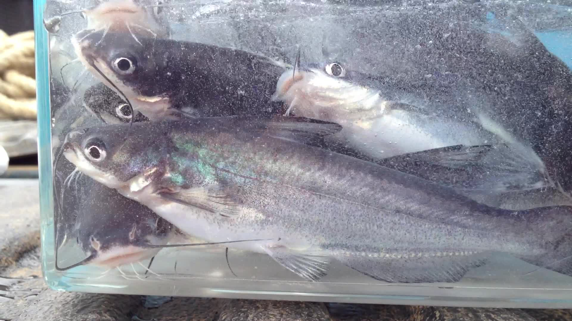 Blue Catfish Vs Channel Catfish